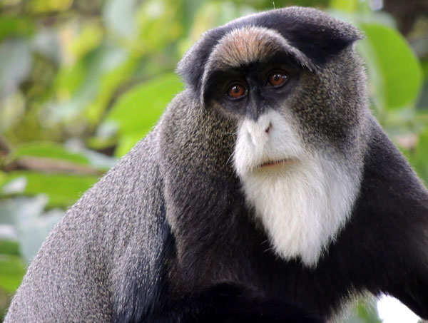 DeBrazza's Monkey, Cercopithecus neglectus, photo © by Michael Plagens