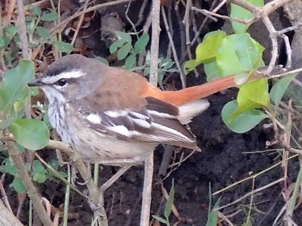 White-browed Scrub Robin, Cercotrichas leucophrys, male, photo © by Michael Plagens