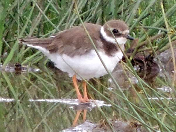 Common Ringed Plover, Charadrius hiaticula, photo © by Michael Plagens.