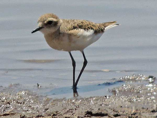 Kittlitz's Plover, Charadrius pecuarius, photo © by Michael Plagens.