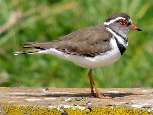 Three-banded Plover, Charadrius tricollaris, photo © by Michael Plagens.