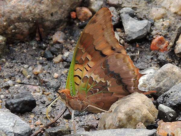 Green-veined Charaxes, C. candiope, from Kenya. Photo © by Michael Plagens