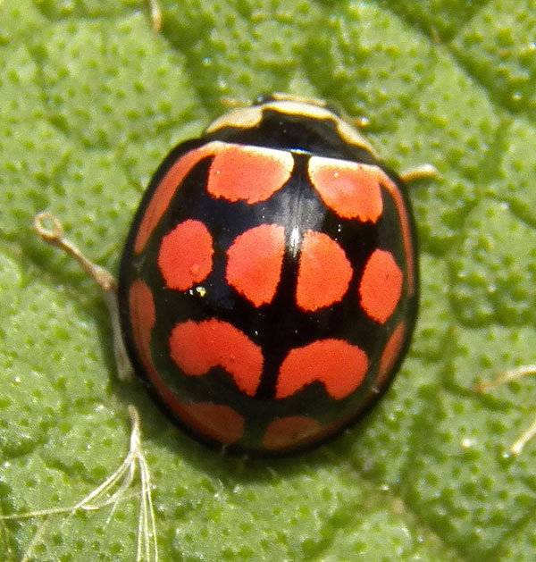 a brightly colored lady beetle from Nairobi, Kenya. Photo © by Michael Plagens