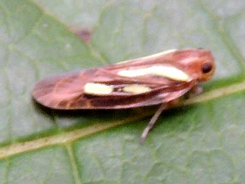 a leafhopper, Cicadelidae, from Kitale, Kenya. Photo © by Michael Plagens