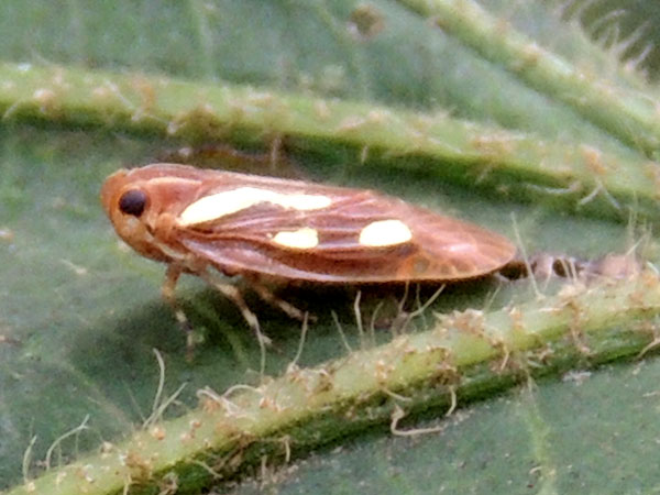 a leafhopper, Cicadelidae, from South Nandi Forest, Kenya. Photo © by Michael Plagens