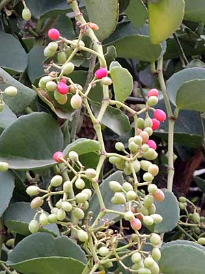 fruit of grape family, Cissus rotundifolia, photo © by Michael Plagens