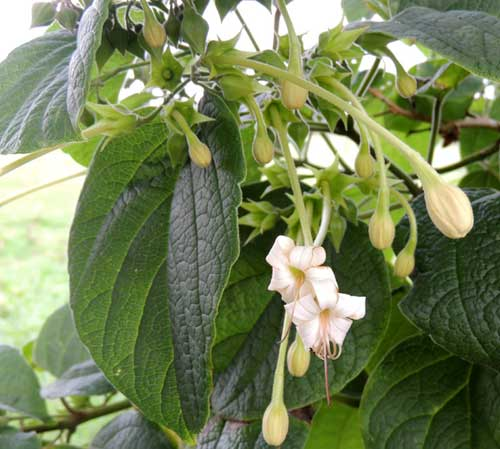 a possible Clerodendron sp. by Michael Plagens