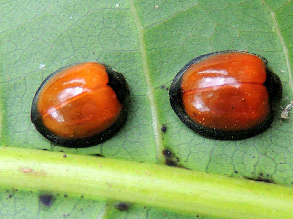 a pair of lady beetles associated with mango from Eldoret, Kenya. Photo © by Michael Plagens