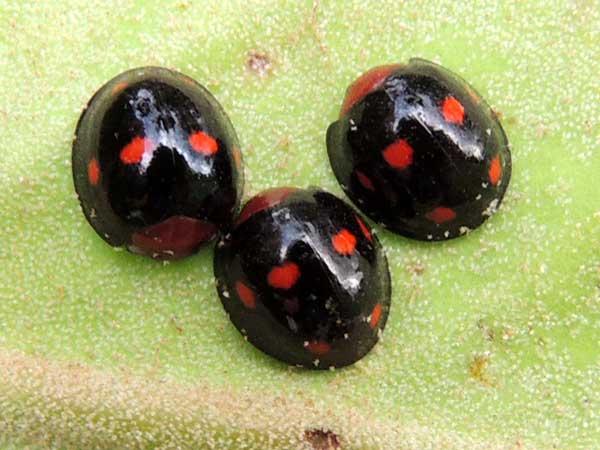lady beetles, Coccinellidae, observed on Mistletoe near Eldoret, Kenya. Photo © by Michael Plagens