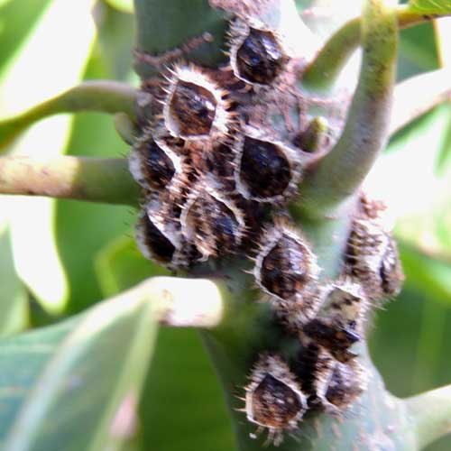 a group of scale insects on a twig of Mango, Eldoret, Kenya. Photo © by Michael Plagens