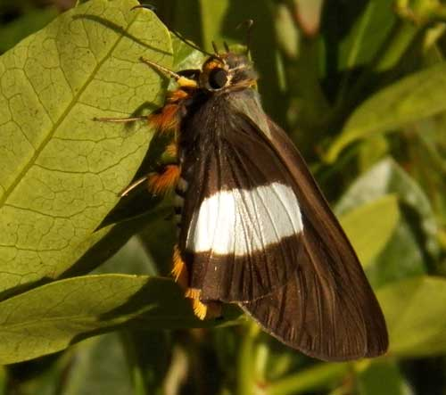a skipper butterfly, Coeliades, from Iten, Kenya, Jan. 2012. Photo © by Michael Plagens