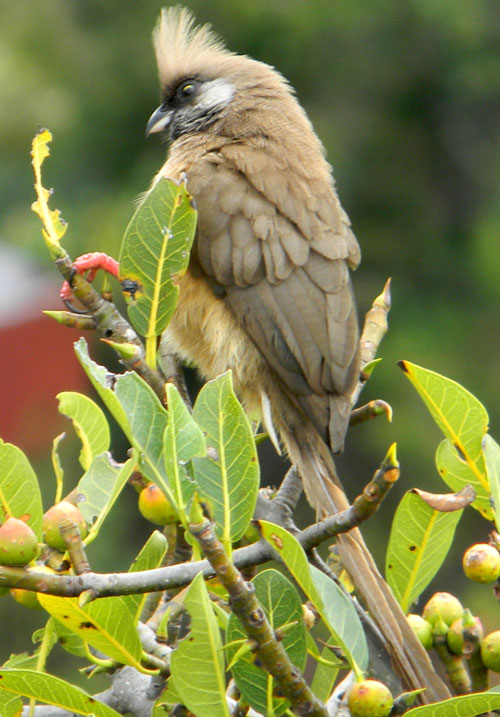 Speckled Mousebird, Colius striatus, photo © by Michael Plagens