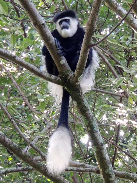 Mantled Guereza, Colobus guereza, photo © by Michael Plagens