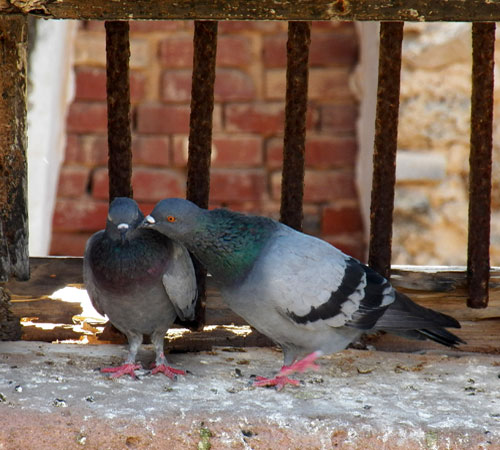 Male and Female Rock Dove, Columba livia, photo © by Michael Plagens