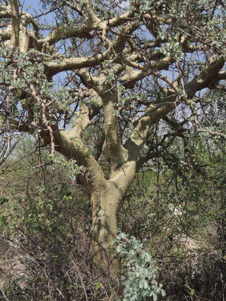 Commiphora, photo © by Michael Plagens