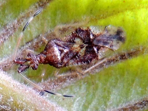Bug, Coreidae, from Eldoret, Kenya. Damaging growing shoots and fruit of Guava. Photo © by Michael Plagens