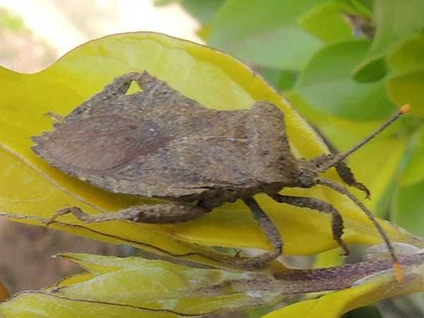 leaf-footed Bugs, Coreidae. Eldoreta, Kenya. Photo © by Michael Plagens