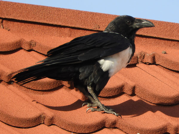 Pied Crow, Corvus albus, photo © by Michael Plagens