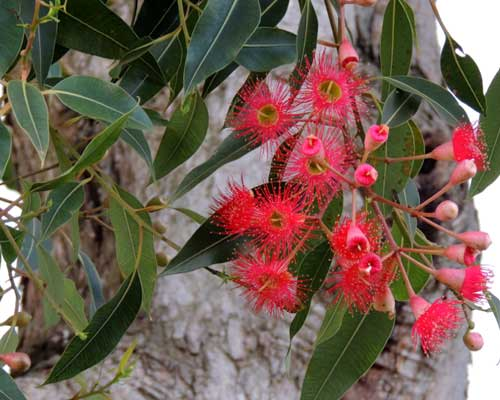 Red-flower Gum, Corymbia ficifolia, photo © by Michael Plagens