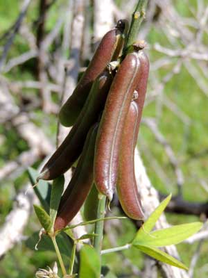 fruit (pods) of rattlepod, Crotalaria, Kenya, photo © by Michael Plagens