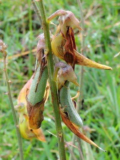 developing bean pods of rattlepod, Crotalaria ochroleuca, Kenya, photo © by Michael Plagens