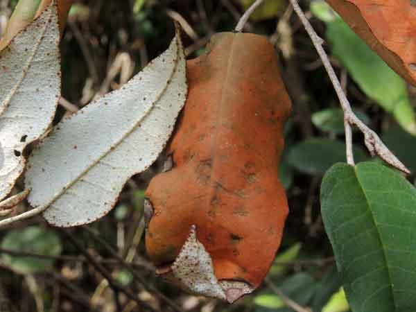 Croton dichogamus, a roadside shrub in Kenya, photo © by Michael Plagens