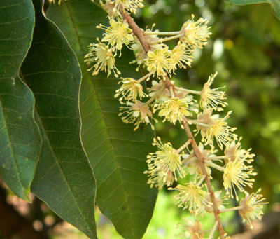 Croton megalocarpus, a forest tree common in Nairobi area of Kenya, photo © by Michael Plagens