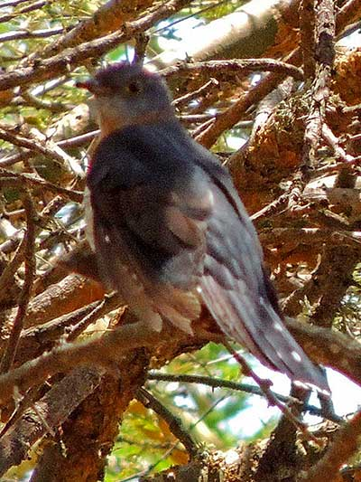 Red-chested Cuckoo, Cuculus solitarius, photo © by Michael Plagens.
