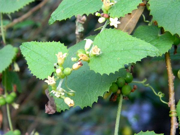 Unknown cucurbitaceae from Kenya, photo © by Michael Plagens