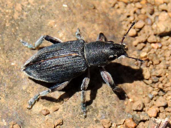 Charcoal-colored Entiminae from Eldoret, Kenya. Photo © by Michael Plagens