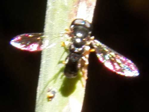 an unknown family of fly from Eldoret, Kenya. Photo © by Michael Plagens