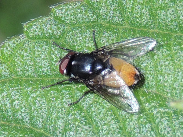an unknown fly species observed at Kitale, Kenya. Photo © by Michael Plagens
