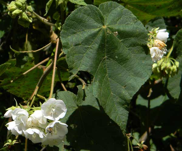 Dombeya sp., probably Dombeya burgessiae, a mallow species from Eldoret, Kenya, photo © by Michael Plagens