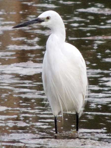 Little Egret, Egretta garzetta, photo © by Michael Plagens
