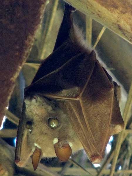 Epauletted Fruit Bat, Epomophorus wahlbergi, photo © by Michael Plagens