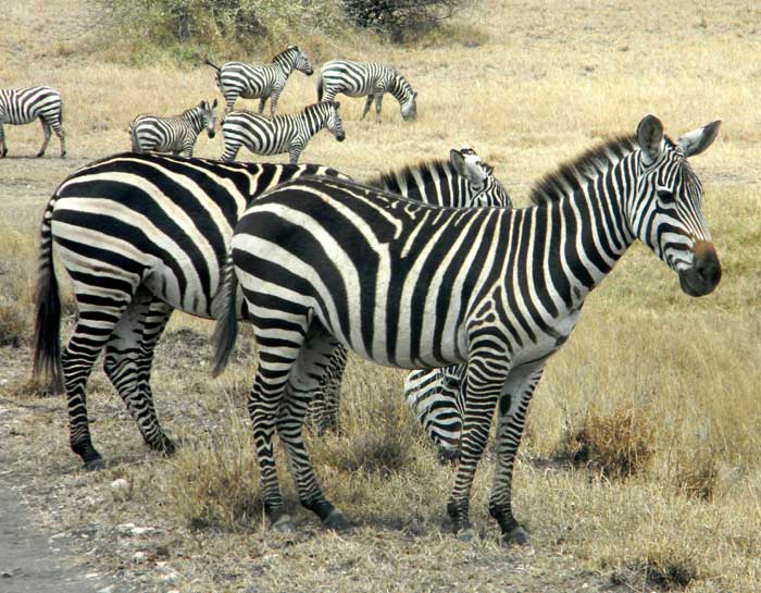 Plains Zebra, Equus quagga burchelli photo © by Michael Plagens