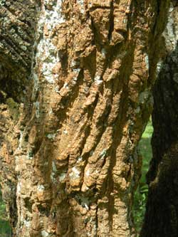 Deeply fissured bark of Coral Bean, Erythrina abyssinica, Kitale, Kenya, photo © by Michael Plagens