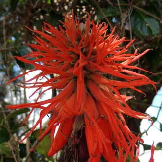 clusters of lipstick-red flowers of Coral Bean, Erythrina abyssinica, Eldoret, Kenya, photo © by Michael Plagens