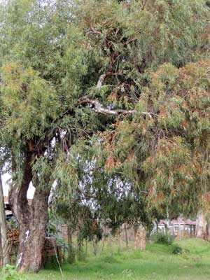 habit of Eucalyptus paniculata photo © Michael Plagens