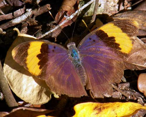 a gold banded forester, Euphaedra neophron, from Watamu, Kenya, Jan. 2012. Photo © by Michael Plagens