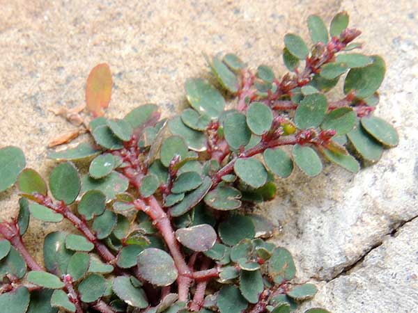 Prostrate spurge sand mat, Euphorbia, photo © by Michael Plagens