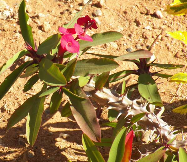 Crown-of-Thorns, Euphorbia milii,  Kenya; photo © by Michael Plagens