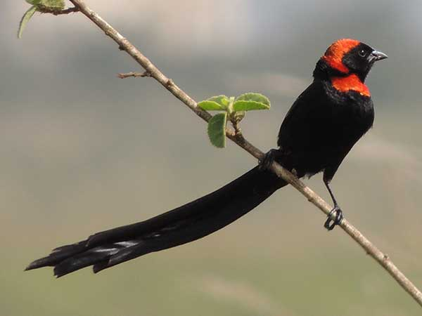 Red-collared Widowbird, Euplectes ardens, photo © by Michael Plagens