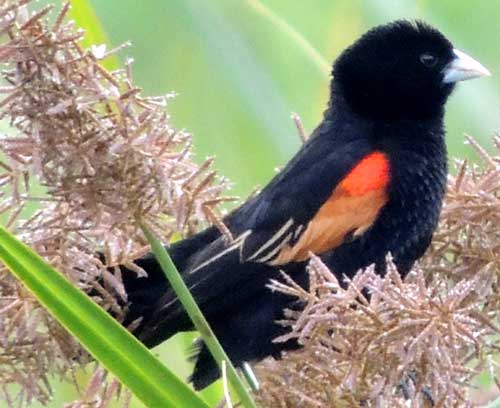 Fan-tailed Widowbird, Euplectes axillaris, photo © by Michael Plagens