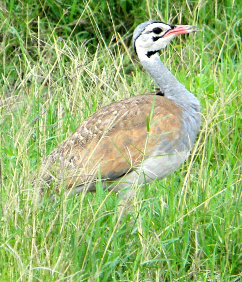 White-bellied Bustard, Eupodotis senegalensis, photo © by Michael Plagens