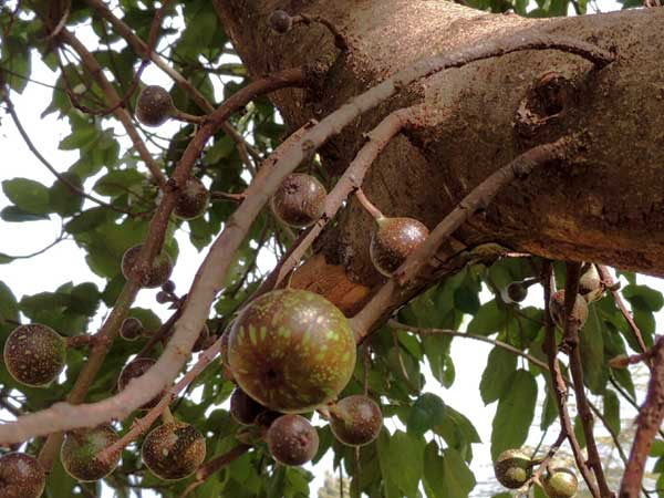 Ficus sur, a large fruit-bearing tree, Kenya, photo © by Michael Plagens