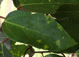 leaf of Ficus sur with gall mites present, Kenya, photo © by Michael Plagens