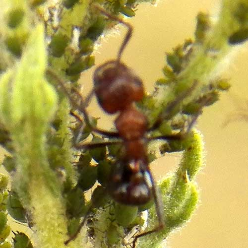 several Myrmicaria ants protect and tend a group of Conyza Aphids, Kenya, January 2012. Photo © by Michael Plagens