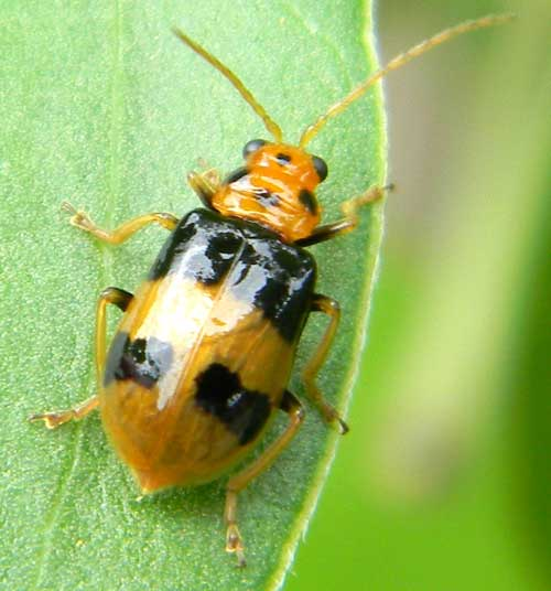 a Chrysomelidae in s.f. Galerucinae, from Kerio Valley, Kenya, photo © by Michael Plagens