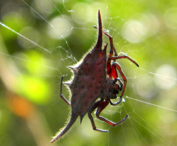 likely Gasteracantha orb weaving spider from City Park, Nairobi, Kenya, Oct. 2, 2010. Photo © by Michael Plagens